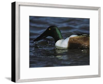 A Northern Shoveler Feeds by Straining Water Through its Bill-Tim Laman-Framed Photographic Print