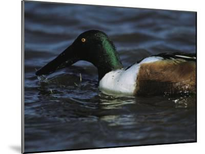 A Northern Shoveler Feeds by Straining Water Through its Bill-Tim Laman-Mounted Photographic Print
