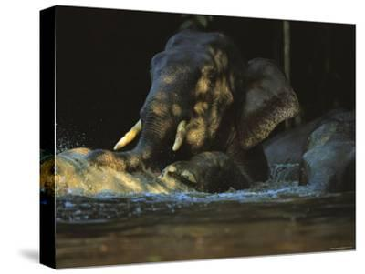 A Borneo Asian Elephant Splashes in a Shady River-Tim Laman-Stretched Canvas Print