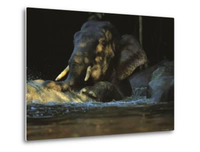 A Borneo Asian Elephant Splashes in a Shady River-Tim Laman-Metal Print