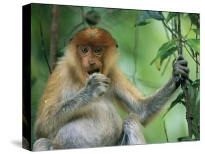 A Young Proboscis Monkey Eats a Piece of Fruit-Tim Laman-Stretched Canvas Print