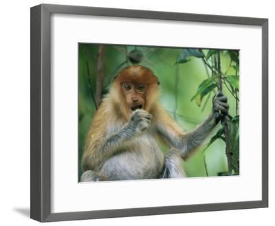 A Young Proboscis Monkey Eats a Piece of Fruit-Tim Laman-Framed Photographic Print
