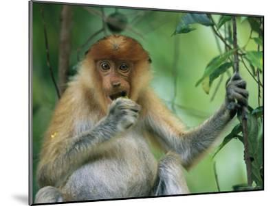 A Young Proboscis Monkey Eats a Piece of Fruit-Tim Laman-Mounted Photographic Print
