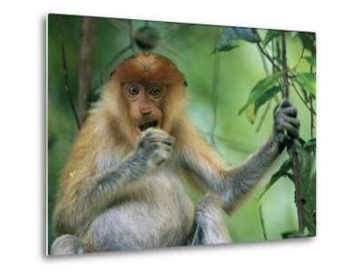 A Young Proboscis Monkey Eats a Piece of Fruit-Tim Laman-Metal Print