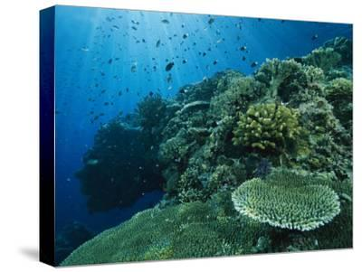 Damselfish and Other Reef Dwellers Swim Among Hard Corals-Tim Laman-Stretched Canvas Print