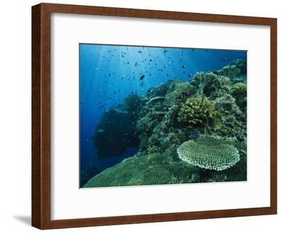 Damselfish and Other Reef Dwellers Swim Among Hard Corals-Tim Laman-Framed Photographic Print