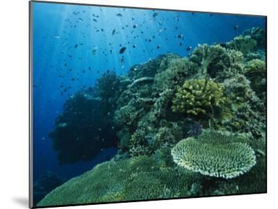 Damselfish and Other Reef Dwellers Swim Among Hard Corals-Tim Laman-Mounted Photographic Print