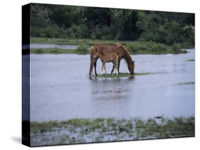 A Grazing Chincoteague Pony with Her Foal-Medford Taylor-Stretched Canvas Print