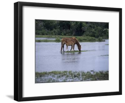A Grazing Chincoteague Pony with Her Foal-Medford Taylor-Framed Photographic Print