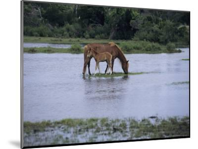 A Grazing Chincoteague Pony with Her Foal-Medford Taylor-Mounted Photographic Print