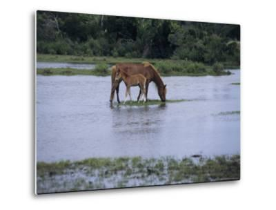 A Grazing Chincoteague Pony with Her Foal-Medford Taylor-Metal Print