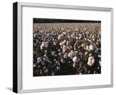 A Field of Fluffy Cotton Plants in North Carolina-Medford Taylor-Framed Photographic Print