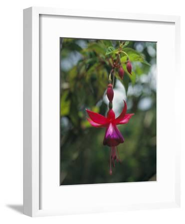A Beautiful Red and Purple Hanging Flower Blossom-David Evans-Framed Photographic Print