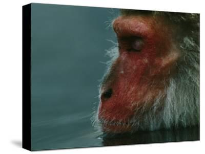A Japanese Macaque (Macaca Fuscata), or Snow Monkey, Enjoys a Swim-Tim Laman-Stretched Canvas Print
