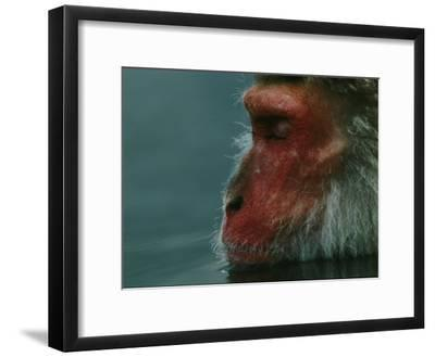 A Japanese Macaque (Macaca Fuscata), or Snow Monkey, Enjoys a Swim-Tim Laman-Framed Photographic Print