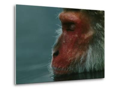 A Japanese Macaque (Macaca Fuscata), or Snow Monkey, Enjoys a Swim-Tim Laman-Metal Print