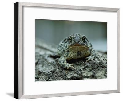 A Close View of a Wyoming Toad-Joel Sartore-Framed Photographic Print