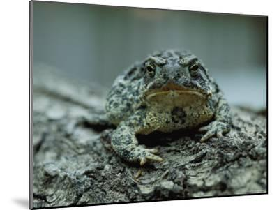 A Close View of a Wyoming Toad-Joel Sartore-Mounted Photographic Print