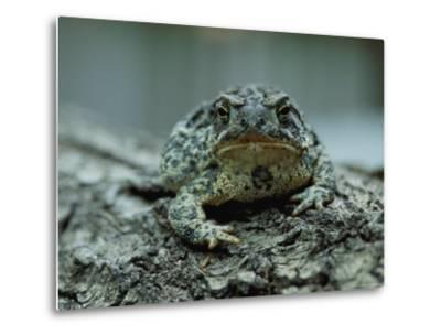 A Close View of a Wyoming Toad-Joel Sartore-Metal Print