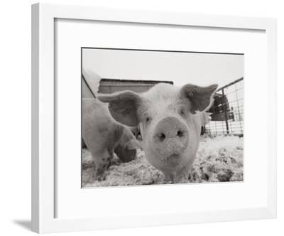 Portrait of a Young Pig-Joel Sartore-Framed Photographic Print