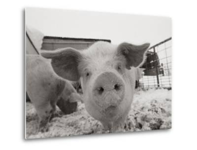 Portrait of a Young Pig-Joel Sartore-Metal Print
