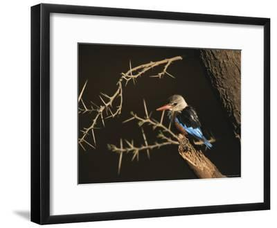 A Gray-Headed Kingfisher Perched on a Tree Branch-Roy Toft-Framed Photographic Print