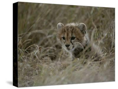 Close View of a Juvenile Cheetah in a Grassy Landscape-Roy Toft-Stretched Canvas Print