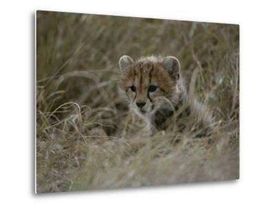 Close View of a Juvenile Cheetah in a Grassy Landscape-Roy Toft-Metal Print