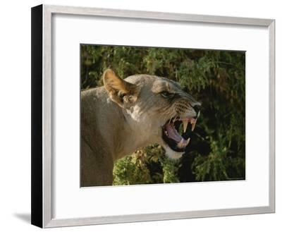 A Close View of a Snarling African Lioness-Roy Toft-Framed Photographic Print