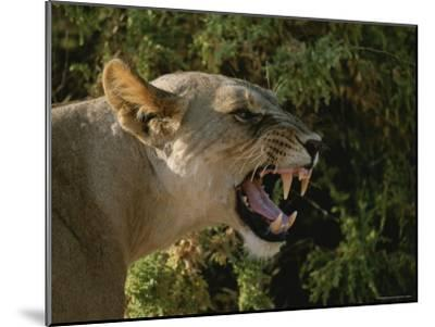 A Close View of a Snarling African Lioness-Roy Toft-Mounted Photographic Print