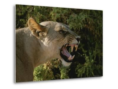 A Close View of a Snarling African Lioness-Roy Toft-Metal Print