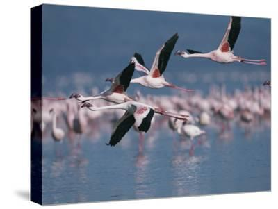 Greater Flamingos in Flight over Lake Nakuru-Roy Toft-Stretched Canvas Print