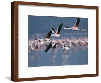 Greater Flamingos in Flight over Lake Nakuru-Roy Toft-Framed Photographic Print