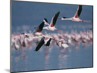 Greater Flamingos in Flight over Lake Nakuru-Roy Toft-Mounted Photographic Print