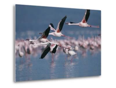 Greater Flamingos in Flight over Lake Nakuru-Roy Toft-Metal Print