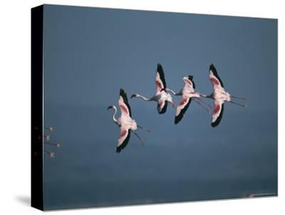 Greater Flamingos in Flight-Roy Toft-Stretched Canvas Print