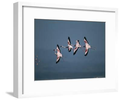 Greater Flamingos in Flight-Roy Toft-Framed Photographic Print