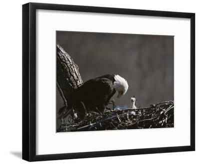 An American Bald Eagle and Chick-Roy Toft-Framed Photographic Print