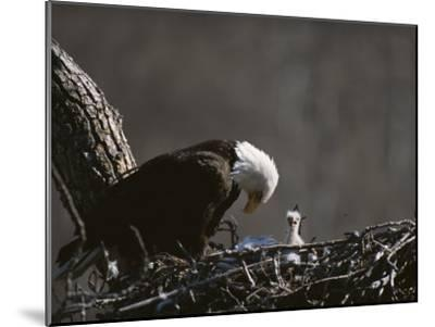 An American Bald Eagle and Chick-Roy Toft-Mounted Photographic Print