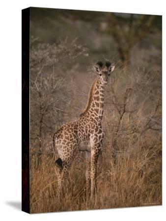 A Young Reticulated Giraffe, Giraffa Reticulata-Tim Laman-Stretched Canvas Print