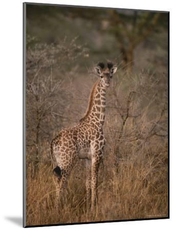 A Young Reticulated Giraffe, Giraffa Reticulata-Tim Laman-Mounted Photographic Print