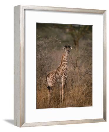 A Young Reticulated Giraffe, Giraffa Reticulata-Tim Laman-Framed Photographic Print