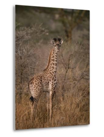 A Young Reticulated Giraffe, Giraffa Reticulata-Tim Laman-Metal Print