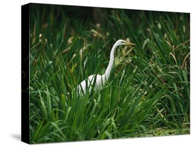 A Great Egret, Casmerodius Albus, Standing in Tall Grasses-Raymond Gehman-Stretched Canvas Print