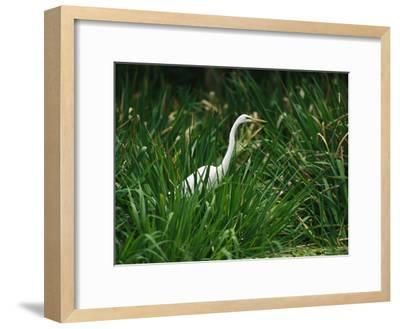 A Great Egret, Casmerodius Albus, Standing in Tall Grasses-Raymond Gehman-Framed Photographic Print