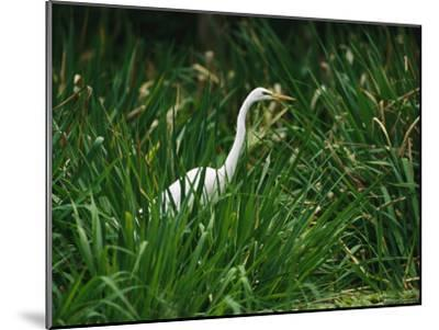 A Great Egret, Casmerodius Albus, Standing in Tall Grasses-Raymond Gehman-Mounted Photographic Print