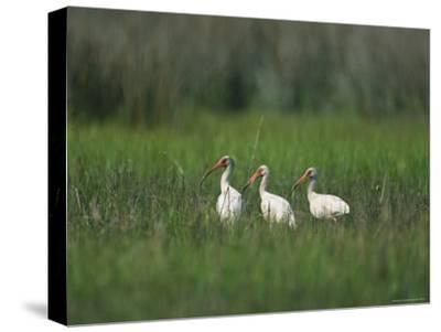 View of Ibises-Stephen Alvarez-Stretched Canvas Print
