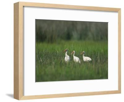 View of Ibises-Stephen Alvarez-Framed Photographic Print