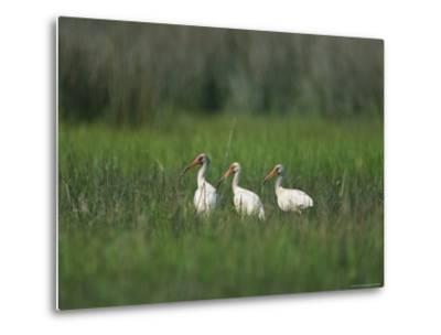 View of Ibises-Stephen Alvarez-Metal Print
