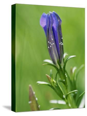 Maculinea Alcon Butterflies Begin Life as Eggs Laid on a Marsh Gentian-Darlyne A^ Murawski-Stretched Canvas Print